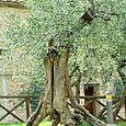 Ancient Olive Tree in Monteriggioni