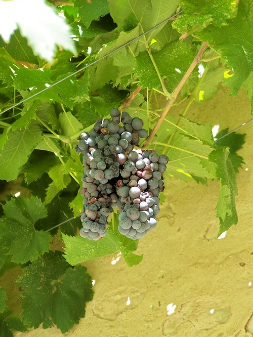 Castello di Poppiano Grapes